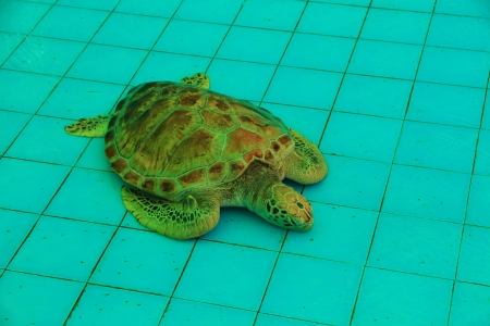 Sea Turtle Sleeping in the Pond Aquaculture  photo