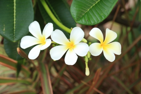 five petals: The Plumeria has Five Petals, Yellow Middle, Outside White  Stock Photo