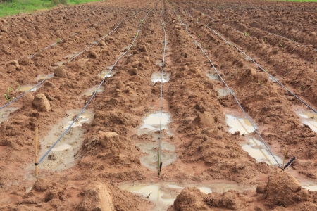 plentifully: Water Irrigation System on a Field with a Sugar Cane Farm Plentifully  Stock Photo