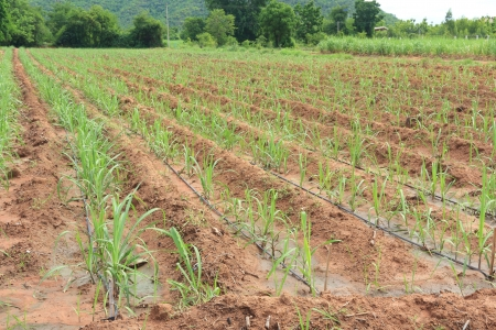 Water Irrigation System on a Field with a Sugar Cane Farm Plentifully  Banco de Imagens