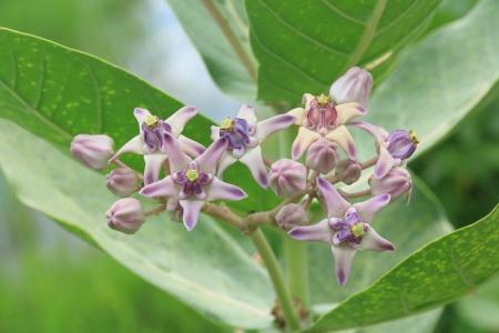 conker: Purple Crown Flower, Indian Milkweed, Gigantic  Stock Photo