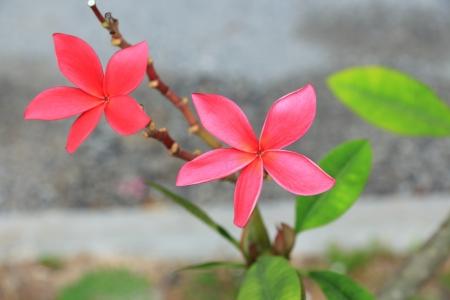 five petals:  The Pink Plumeria has Five Petals