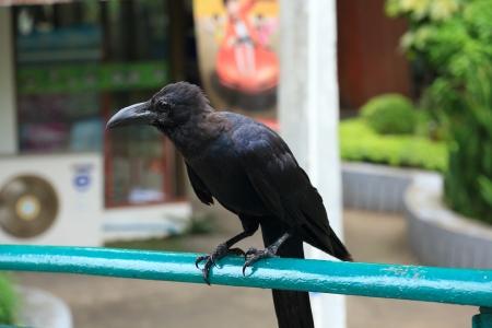 corvus: Tailandia Crow Corvus brachyrhynchos
