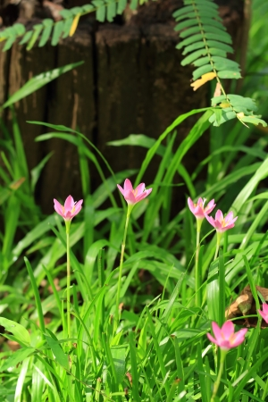 Pink Rain Lily Flower, Zephyranthes Flower  photo