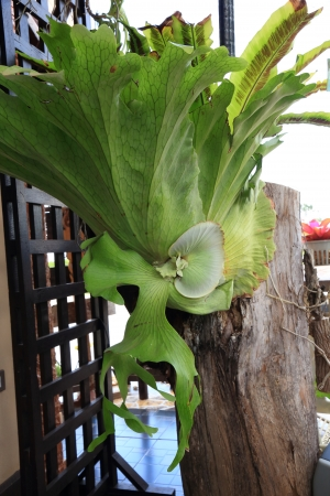 staghorn fern: Big Staghorn Fern