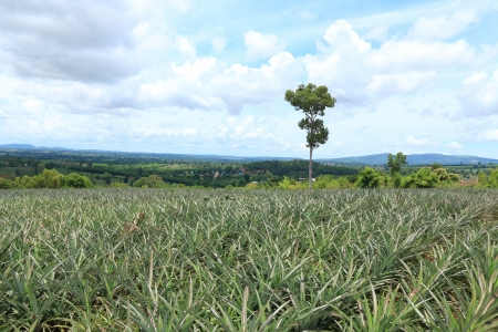 Pineapple in the Plantation Area under Tropical Area  photo