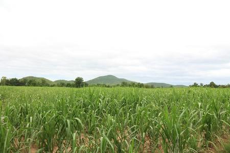 Sugarcane Plantation in Thailand  Stock Photo - 21134244