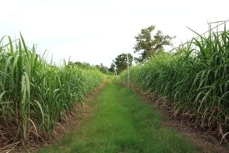 Grass Field bewteen Sugarcane Plantation in Thailand Stock Photo - 21134267