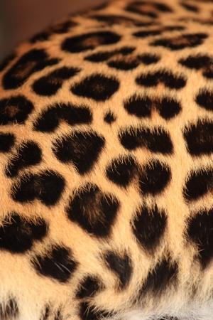 Wild Leopard Skin Stock Photo - 21134295