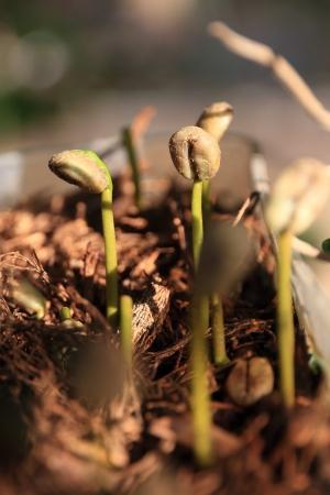 Nahaufnahme eines jungen Coffee Plant Sprout Setzling aus dem Boden mit Sonnenlicht Standard-Bild - 21400056