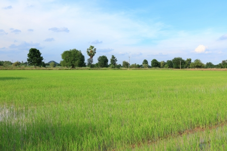 baby rice: Landscape of Baby Rice Field with Blue Sky