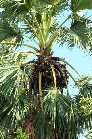 cambodian palm: Asian Palmyra Palm, Toddy Palm, Sugar Palm, Palm cambogiano Archivio Fotografico