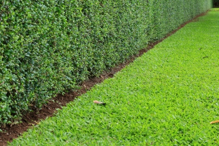 trimmed: Tall Hedge, Endless Seamless Pattern, Tall Hedge and Grass