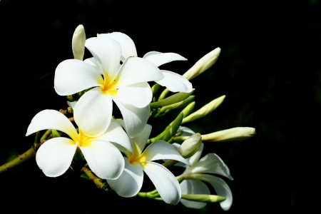 five petals: Plumeria Five Petals, Yellow Middle and Outside White, Isolated on Black Background