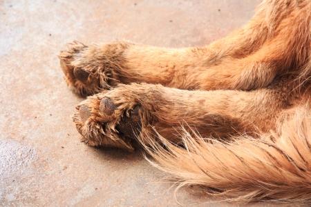 Dirty Paw of Golden Retriever