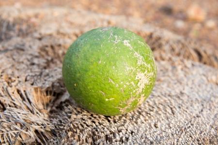 rutaceae: Feroniella Lucida  Scheff  Swingle, Rutaceae