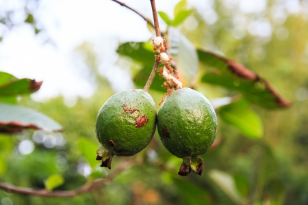 myrtales: Apple Guava or Common Guava, Psidium Guajava, Goiaba or Guayaba  Stock Photo