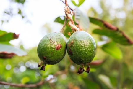Apple Guava or Common Guava, Psidium Guajava, Goiaba or Guayaba  Stock Photo