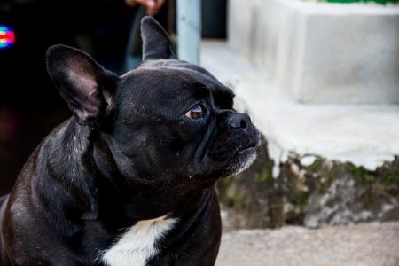 black pug: Black Pug