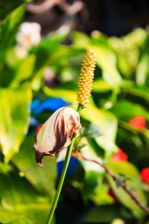 wilted: Dry Wilted Anthurium Flower  Stock Photo