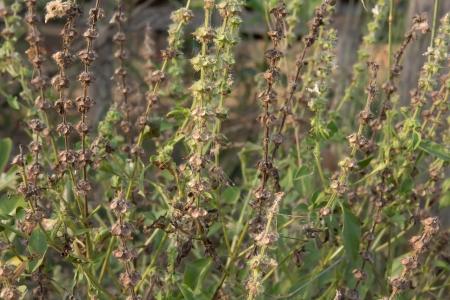 tulasi: Lemon Basil Flowers