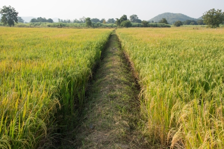 filed: Rice Filed and Pathway