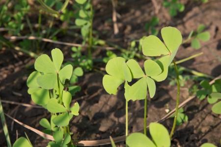 marsilea: Water clover, Clover fern   Marsilea crenata Presl