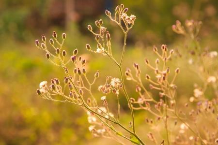 eudicots: Purple Fleabane , Little iron weed , Ash-coloured fleabane  Stock Photo