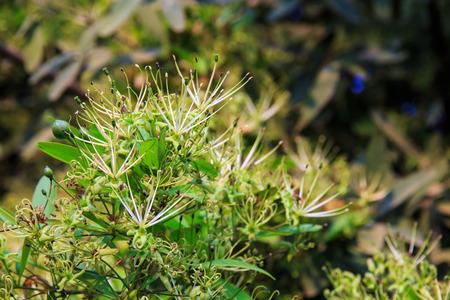 siamensis: Maerua siamensis  Kurz  Pax, Plant on Thailand