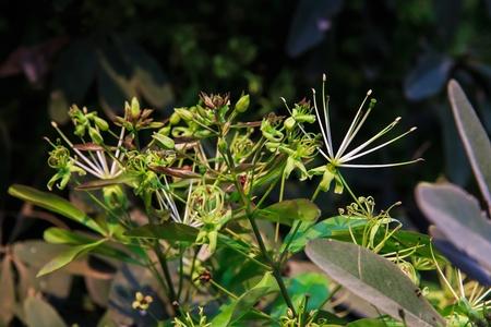 quinine: Maerua siamensis  Kurz  Pax, Plant on Thailand