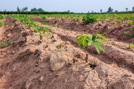 provide: Row of Cassava Tree in Field