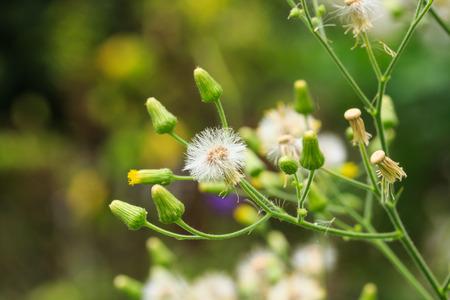 White Vernonia Cinerea  L   Less Flowers Banco de Imagens - 26024056