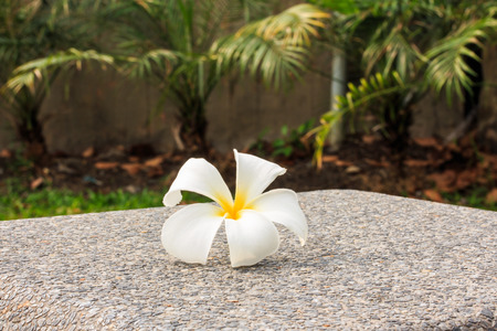 Close up of Plumeria has Five Petals, Yellow Middle, Outside White  photo