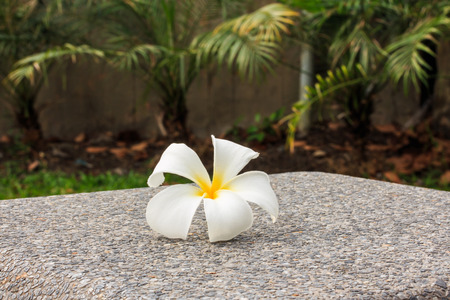 five petals: Close up of Plumeria has Five Petals, Yellow Middle, Outside White