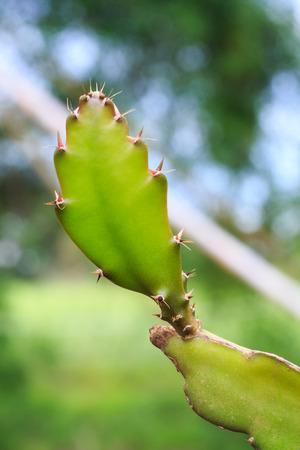 dragonfruit: Dragonfruit or Pitaya Plant  Stock Photo