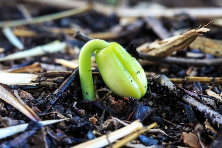 Sprout of Tamarind Seed that the Agriculturist Cultivates to Keep and Prepare go to Grow