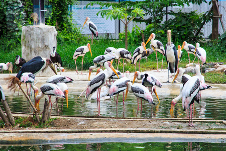 Vacationers White Pelicans  photo
