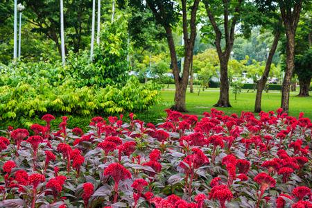 Flowwers Garden, Celosia argentea L  Stock Photo