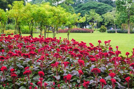 l natural: Flowwers Garden, Celosia argentea L  Stock Photo