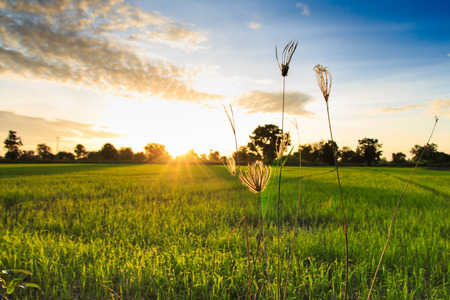 Grass Flowers with Rice Field Background  at Sunrise  Banco de Imagens