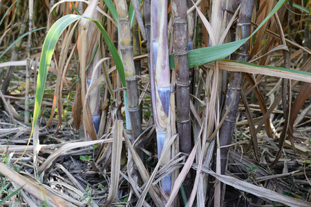 Close up of sugarcane plantation. photo