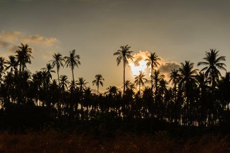 palmier: Cocotier au coucher du soleil.