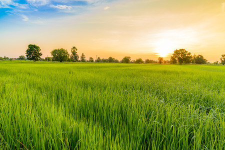 grass country: Rice Field in the Morning.