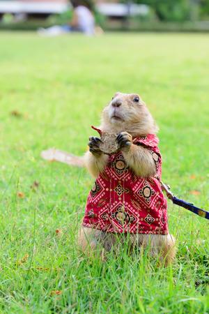land mammals: Prairie marmot in cloth standing on grass.