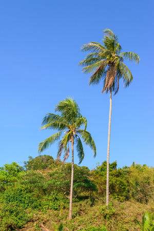 windy: Sloped coconut trees while windy. Stock Photo
