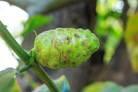tahitian: Great morinda, Tahitian noni, Indian mulberry, Beach mulberry.