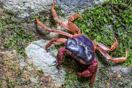 crustacean: Crab crustacean in rain-forest.