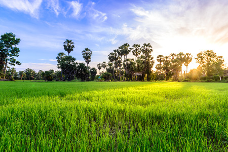 Rice field with palm tree backgrond in morning, Phetchaburi Thailand.