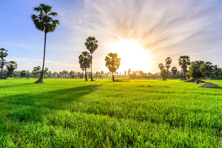 Rice field with palm tree background in morning, Phetchaburi Thailand.