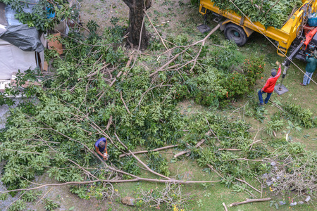 Gardener pruning a tree with chainsaw under tree.